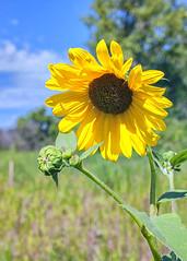 Minnesota Summer (jrcrespinphoto) Tags: stpaul twincities summer minnesota minneapolis flower plants