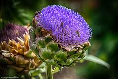 DSC03045.jpg (J.Weyerhuser) Tags: botanischergarten artischocke flower makro hdr nik