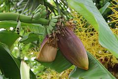 Musa basjoo - 30 June 2016 (vireyauk) Tags: musabasjoo musa basjoo banana musaceae