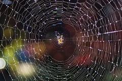 The Golden Spider (jbarc in BC) Tags: spider web golden droplets water bokeh trap arachnoid sunlight backlit home delta nikon nikond750