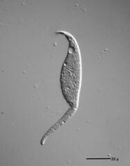 Dileptus anatinus - 400x (Picturepest) Tags: schwarzweis schwarzweiss sw blackwhite bw blackandwhite monochrome einfarbig twartwit noir ciliaten ciliat wimperntierchen einzeller infusorien protisten protist unicelluar protozoa protozoen protozoe plankton mikroskop mikrofotografie mikrofoto microscop microphotography micro mikro dic mikrobe