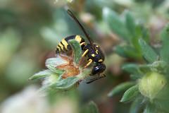 Potter wasp looking for caterpillars #4 (Lord V) Tags: macro bug insect wasp potterwasp