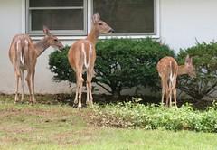 Wednedsday Colours - Deer on the Front Lawn (Pushapoze (NMP)) Tags: deer babydeer chevreuils neighborhood voisinage suburbs nj banlieue