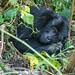 Mountain gorilla, Bwindi Impenetrable Forest National Park, Uganda