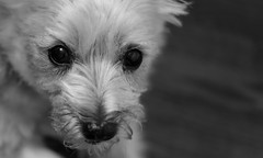 the key to my heart (Dotsy McCurly) Tags: key heart ruffy cute dog cairnterrier beautiful face sweet love eyes macro closeup dof bokeh nikon d750 nj