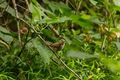 7K8A3821 (rpealit) Tags: scenery wildlife nature east hatchery alumni field hackettstown young house wren bird