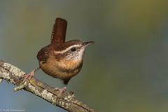 BJ8A6119-Carolina Wren (tfells) Tags: bird nature songbird passerine carolina wren assunpink nj new jersey