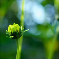 the last bud.......... (atsjebosma) Tags: bud knop autumn september macro bokeh flower colourful kleurrijk atsjebosma nederland groningen 2016 coth5