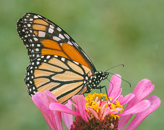 Sipping Zinnia Nectar (tresed47) Tags: 2016 201608aug 20160821homemacro butterflies canon7d chestercounty content folder home insects monarch pennsylvania peterscamera petersphotos places takenby us ngc npc