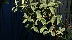 Salix lapponum (Salicaceae) (Lake lnne, Rautavaara, 20160630) (RainoL) Tags: 2016 201606 20160630 fin finland fz200 geo:lat=6350327500 geo:lon=2812301700 geotagged june lake pohjanpaju pohjoissavo rautavaara salicaceae salix salixlapponum shrub summer willow lnne