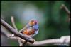 Just A Little - Bloedel Conservatory N18164e (Harris Hui (in search of light)) Tags: harrishui nikond300 nikonuser nikon d300 vancouver richmond bc canada vancouverdslrshooter sigma70200mmf28 bird birdwatching bloedelconservatory queenelizabethpark zebrafinch