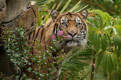 Langka (ToddLahman) Tags: langka sandiegozoosafaripark safaripark rain escondido canon7dmkii canon canon100400 sumatrantiger tigers tiger tigertrail