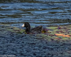 Old American Coot  on Bowen Island (larrypetTO) Tags: coot