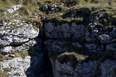 Renard - Vulpes vulpes (olivier teilhard) Tags: renard renardroux vulpesvulpes animaux nature sauvage libre vercors drme rhnealpes france canon7dmarkii sigma150600 olivierteilhard