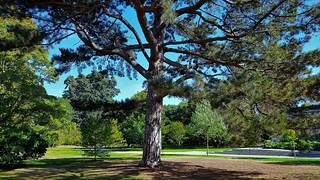 Pinus Nigra...Austrian Black Pine.