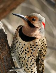 Flicker-61 (egdc211) Tags: bird nature birdwatcher backyardbirding naturewatcher connecticutbird newenglandbird