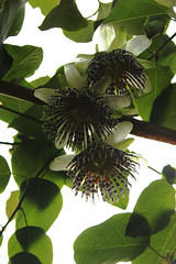 Passiflora actinia (betadecay2000) Tags: brazil brasil laub brasilien lila passiflora grn amerika passionflower passionsblume violett weis passiebloem kletterpflanze  sdamerika actinia arkfelek ranke  krunica brasilie bltte  lulesahati   passiflory gospodinova