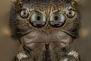 Spider (Salticidae)