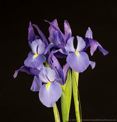 Siberian Iris