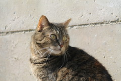 Foxy (Karl Van Loo) Tags: cat foxy kat