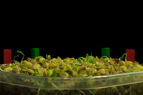 Lentil microgreens growth time lapse by Always Shooting, on Flickr