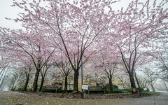 Cherry blossoms (cabancreative) Tags: trees canada tree vancouver cherry spring nikon bc blossom places cherryblossom yvr cherrytree vancity portmoody d600 d610