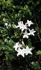 Dwarf Azalea (Rhododendron atlanticum) 05-xx-1985 xxxxx Cumberland Co. NJ 1 (Birder20714) Tags: new plants pine rhododendron jersey ericaceae barrens heaths atlanticum