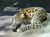 Amur Leopard (1) (bookworm1225) Tags: zoo october 2014 minnesotazoo northerntrail tropicstrail