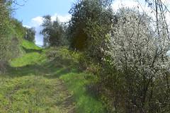 Monteriggioni march (Olga Sytykh) Tags: italien wild italy green primavera nature march spring italia tuscany toscana monteriggioni marzo toskana   freephotos nikond3100