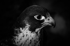 Peregrine B&W (Jon David Nelson) Tags: birds wildlife biology falcons raptors falconry peregrine hawks falcoperegrinus peregrinus falcoperegrinuspealei