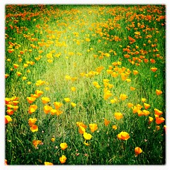 California Poppy Field (shollingsworth) Tags: california orange 6 flower green nature field square spring poppy poppies plus iphone californiapoppies hollingsworth iphone6 hipsatmatic oggl iphone6plus