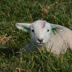 A little Lamb (Kaymian Photography) Tags: canon lamb texel