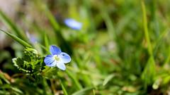 Green field speedwell (Andrei Azanfirei) Tags: blue plant flower green field garden spring soe speedwell theunforgettablepictures