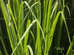 Lemon Grass (Vidya...) Tags: sunlight green nature grass leaf lemon glow tea fresh crisp fragrant lime lemony