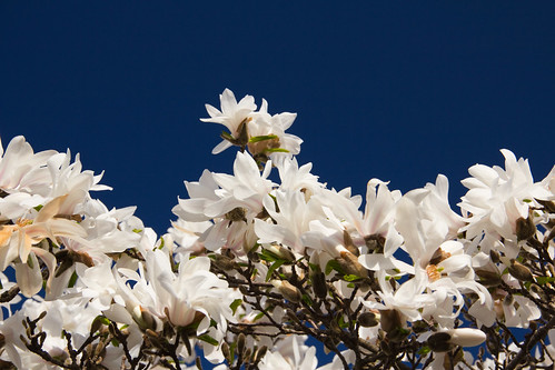 Bright White Blooms on a Deep Blue Sky