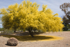 Palo Verde in bloom (doveoggi) Tags: city arizona tree scottsdale paloverde blooming 4434
