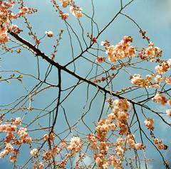 Kirschblüten (Turikan) Tags: cherry lomo fuji blossoms npc lubitel sakura 160 kirschblüte 166b