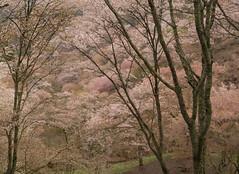 Cherry tree - Nara Yoshino (Kashinkoji) Tags: japan cherry sony sakura nara slt yoshino a77
