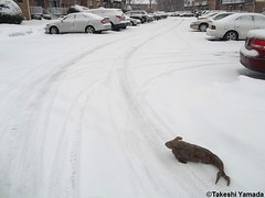 Seara (sea rabbit) on the snow covered ground on March 1, 2015. The Northeastern United States experienced another very cold (far below average temperature) and longer winter months during 2014 and 2015. New York.  20150301 034=2020== (searabbits23) Tags: food ny newyork sexy celebrity art hat fashion animal brooklyn painting asian coneyisland japanese star costume tv google king artist dragon god cosplay manhattan wildlife famous gothic goth performance pop taxidermy cnn tuxedo bikini tophat unitednations playboy entertainer takeshi samurai genius mermaid amc johnnydepp mardigras salvadordali unicorn billclinton billgates aol vangogh curiosities sideshow jeffkoons globalwarming takashimurakami pablopicasso steampunk yamada damienhirst cryptozoology freakshow barackobama seara immortalized takeshiyamada museumofworldwonders roguetaxidermy searabbit ladygaga climategate minnesotaassociationofroguetaxidermists
