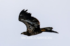 Youth Bald Eagle (Jawor_Photography) Tags: statepark winter sky bird nature animal youth america outside outdoors spread fly flying illinois wings midwest natural eagle wing baldeagle young feather soar starvedrock migrate jaworphotography