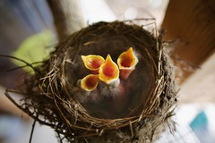 IMG_4457 (Bettina Woolbright) Tags: birds spring nest sigma robins chicks 20mm birdnest babyrobin bettinawoolbright 5d3