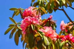 Spring (Sougata2013) Tags: india mountain flower nature colors spring hill rhododendron april mandi hillstation himachalpradesh 2015