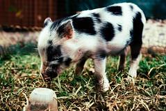 Pig III (luke_j_) Tags: pig piglet thecroctent