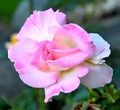Emma's Pink Rose (Pat's Pics36) Tags: pink canada rose bc britishcolumbia stives pinkandwhite bewitched shuswaplake nikond7000 nikkor18to200mmvrlens