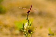 Libelula roja (marcus turkill) Tags: summer insectos macro fauna dragonfly insects libelula verano macrophotography odonata macrofotografia nikond3300