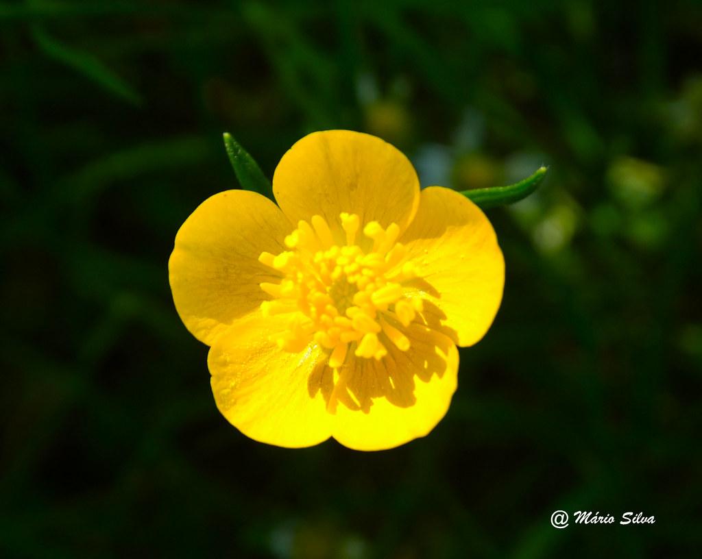 Águas Frias (Chaves) - ...flor campestre amarela ...