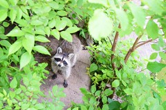 Central Park Racoon (Anne_CoClare) Tags: wood white lake newyork black tree cute green animal america fur grey pond eyes centralpark stripes character wildlife tail adorable whiskers curious raccoon peeping