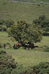 Dartmoor Ponies (Dave 'FBI' Gibbons) Tags: raw devon dartmoor england wild nature natural moorland heath wilderness emptiness uk great britain greatbritain west country westcountry scorhill gidleigh chagford okehampton stones stone rock granite standing standingstones menhir stoneage palaeolithic neolithic beaker people beakerpeople poniy pony ponies horse horses foal mare stallion moor sleep sleeping siesta hide shade tree hiding shady shelter equine