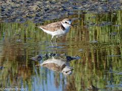 Kentish Plover (stephenyoung839) Tags: reflection bird nikon greece coolpix corfu plover saltpan wader kentishplover kentish wadingbird alikes birdreflection lefkimmi p610