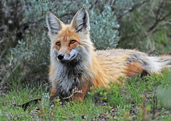 Resting Red Fox - 8385b+ (teagden) Tags: red fox redfox resting rest sagebrush jenniferhall jenhall jenhallphotography jenhallwildlifephotography wyoming photography wild nikon nature naturephotography summer